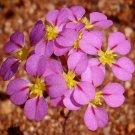 Super 25 Seeds Stylewort Levenhookia Chippendalei AU Plant