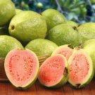 Super 30 Seeds Tropical Guava Fruit Psidium Guajava AU Plant