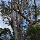 Super 200 Seeds Narrow leaved Red Gum Rare Eucalyptus Seeana AU Plant