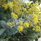 Super 20 Seeds Silver Wattle Acacia Rivalis Beautiful AU Plant