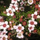 Super 100 Seeds Winter Pink Dainty Astartea Fascicularis Beautiful AU Plant