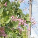 Super 5 Seeds Rare Purple Orchid Tree Bauhinia Purpurea Variegata AU Plant