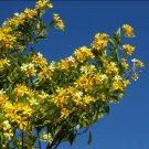 Super 20 Seeds Native Frangipani Hymenosporum Flavum Beautiful AU Plant