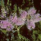 Super 200 Seeds Mauve Honey Myrtle Melaleuca Glaberrima Beautiful AU Plant