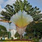 Super 10 Seeds Ravenala Madagascariensis Rare Travellers Palm Tree UK Plant
