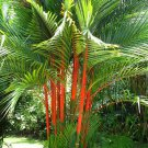 Super 10 Seeds Cyrtostachys Renda Rare Sealing Wax Lipstick Palm UK Plant