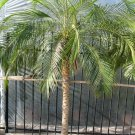 Super 10 Seeds Phoenix Roebelenii Miniature Date Palm Tree UK Plant