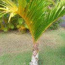 Super 10 Seeds Spindle Palm Hyophorbe Verschaffeltii Tropical Bottle UK Plant