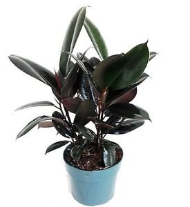 """Burgundy Rubber Tree Plant - Ficus - An Old Favorite - 6"""" Pot"""