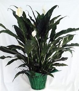 "'Domino' Peace Lily Plant - Spathyphyllium - Easy - 6"" Pot"