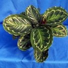 Medallion Prayer Plant - Calathea 4'' Pot - Easy House Plant