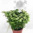 "Frosty Fern Spike Moss - Selaginella - Easy to Grow - 4"" Pot"