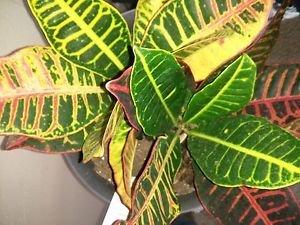 CROTON' (1) PLANT / CODIAEUM VARIEGATUM PETRA 4'
