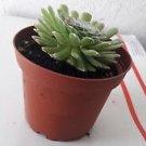 Hens & Chicks - Semperviven - 4'' Pot Great House Plant