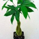 "Money Tree Plant - Pachira aquatica - 2.25"" Pot (FREE SHIPPING)"