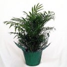 Victorian Parlor Palm - Chamaedorea Elegans - Indestructable (FREE SHIPPING)
