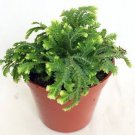 "Frosty Fern Spike Moss - Selaginella - Easy to Grow - 2.5"" Pot"