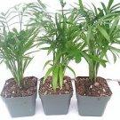 Three Victorian Parlor Palm Chamaedorea Indestructable 2.5 Pot