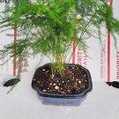 Fern Leaf Plumosus Asparagus Fern - Bonsai Pot 4x4x2 - Easy to Grow - Great Hous