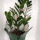Valentine Rare ZZ Plant - Zamioculcas zamiifolia  - 6'' Pot (FREE SHIPPING)