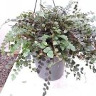 "button Fern 6"" Hanging Basket - Pellaea - Easy to Grow"