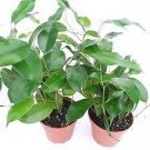 """Red Anthurium Plant 8 - 10 Inches in a 4"""" Pot."""