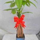 Live Lucky 5 Braided Money Tree Into 1 Pachira (FREE SHIPPING)