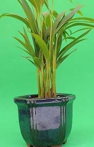 """Areca Palm set in 4"""" BLue Glazed ceramic pot"""