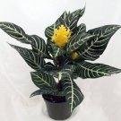"Zebra Plant - Aphelandra - Exotic & Unusual House Plant - 5"" Pot"