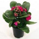 Rosebud Pink Kalanchoe Calandivia 4 Inch Pot (FREE SHIPPING)