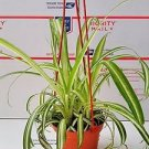 """Bonnie Curly Spider Plant - Easy - Cleans the Air - 4"""" Pot"""