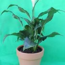 """lily Plant - Spathyphyllium - The plant Is Over 8"""" Tall.great House Plant -With"""