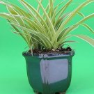 "Ocean Spider Plant - 4"" Blue Glazed Pot for Better Growth - Cleans the Air/Easy"