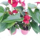 "Two Summer Special - Hawaiian Red Anthurium Plant 8 - 10 Inches in a 4"" Pot"