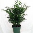 """Victorian Parlor Palm - Chamaedorea - Indestructable - 4"""" Pot"""