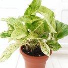 "Marble Queen' Devil's Ivy - Pothos - Epipremnum - 4.5"" (FREE SHIPPING)"