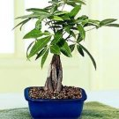 Medium braided money tree (FREE SHIPPING)