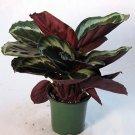 "Rose Painted Prayer Plant - Calathea - 6"" Pot (FREE SHIPPING)"