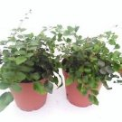 "Two Button Fern - Pellaea - Easy to Grow 4"" Pot"