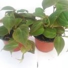 "Two Rare Velvet Leaf Bronze Micans Vine - Easy to Grow - 4""pot"