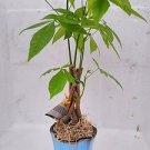 "Lucky 5 Money Tree Plants Braided Into 1 Tree -Pachira 3.5"" Hand Paint Ceramic P"