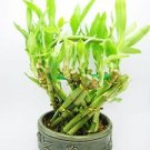 Live Spiral LArge Basket Style Lucky Bamboo Plant Arrangement w/ Green Round Cer