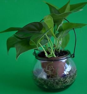 """Heart Leaf Philodendron - 4"""" Glass Vase that looks like a lantern with a hanger"""