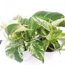 "Two Marble Queen Devil's Ivy - Pothos - Epipremnum 4"" Pot - Easy to Grow"