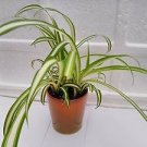 "ocean Spider Plant Yellow - 4"" Ceramic Pot for Better Growth"