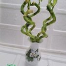 Live Spiral 5 Style Lucky Bamboo Plant Arrangement with Vase Diamond Ceramic Va