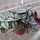 "Purple Wandering Jew - 4"" Hanging Pot - Easy to Grow House Plant"