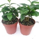 "Two Arabica Coffee Bean Plant 4"" Pot Grow & Brew Your Own Coffee Beans"