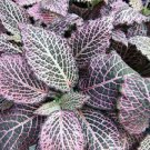"""Red Veined Nerve Plant - Fittonia - Easy House Plant - 6"""" Pot (FREE SHIPPING)"""