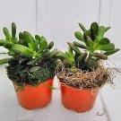 Two Large Jade Plant with moss - Crassula ovuta - 4